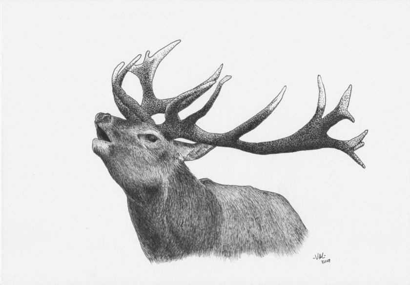 Red Deer Stag in Ink Print