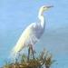 NZ White Heron (kotuku ) - Giclee print mounted on wood