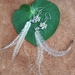 Long Emu feathers earrings