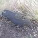Kakapo Metal Bang'n Bird