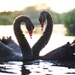 A4 - NZ Bird Life  | Swan Courtship | Fine Art Print
