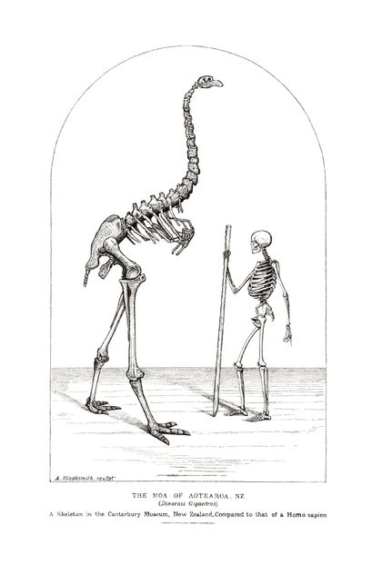 Skeletons, Moa and Human compared.